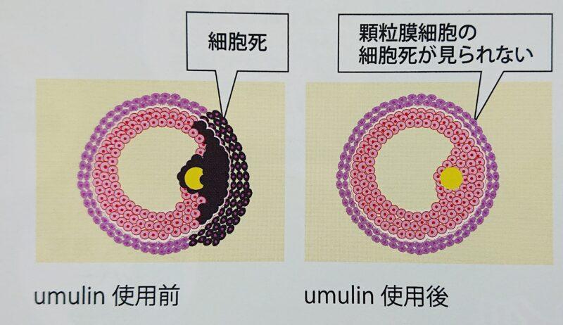 ウムリンの効果は顆粒膜細胞への影響を与える